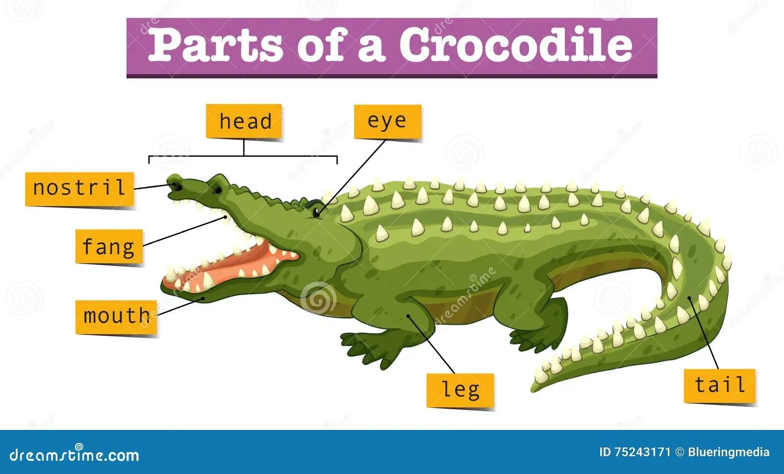 Diagram Showing Parts Of Crocodile Stock Vector