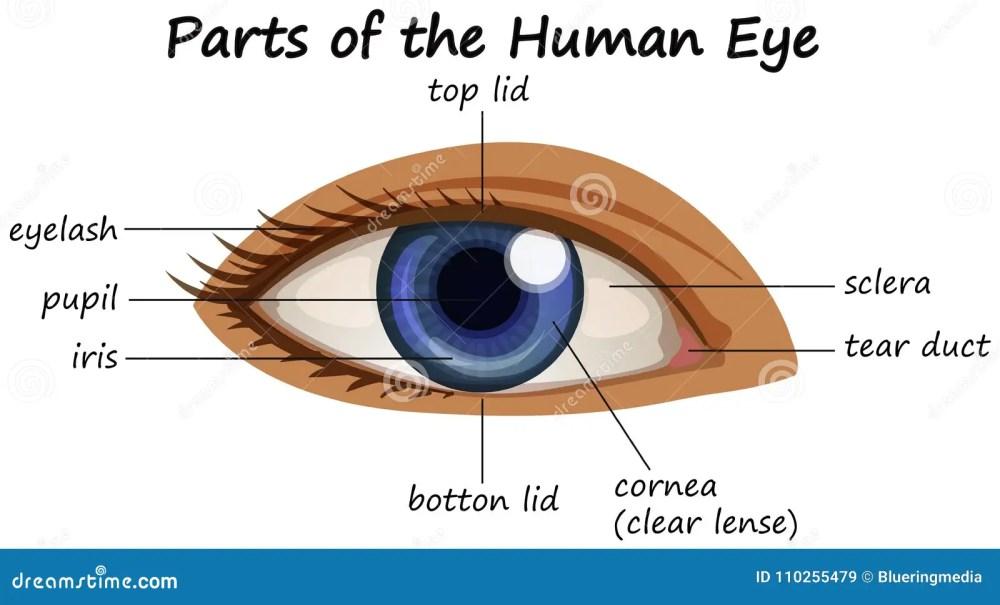 medium resolution of diagram showing parts of human eye