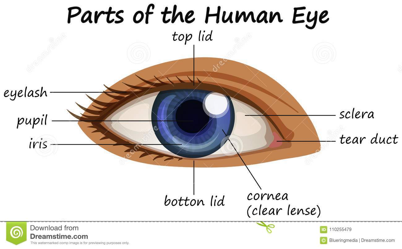 hight resolution of diagram showing parts of human eye