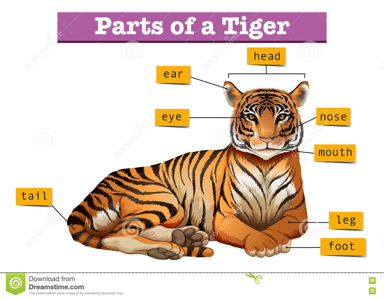 Diagram Showing Parts Of Tiger Stock Vector