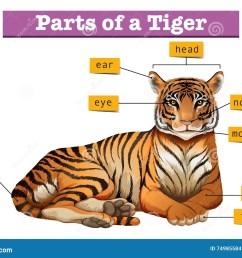 diagram showing parts of tiger stock vector illustration ofdiagram showing parts of tiger [ 1300 x 1011 Pixel ]