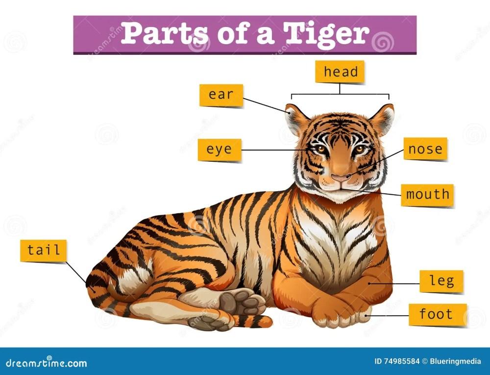 medium resolution of diagram showing parts of tiger stock vector illustration ofdiagram showing parts of tiger