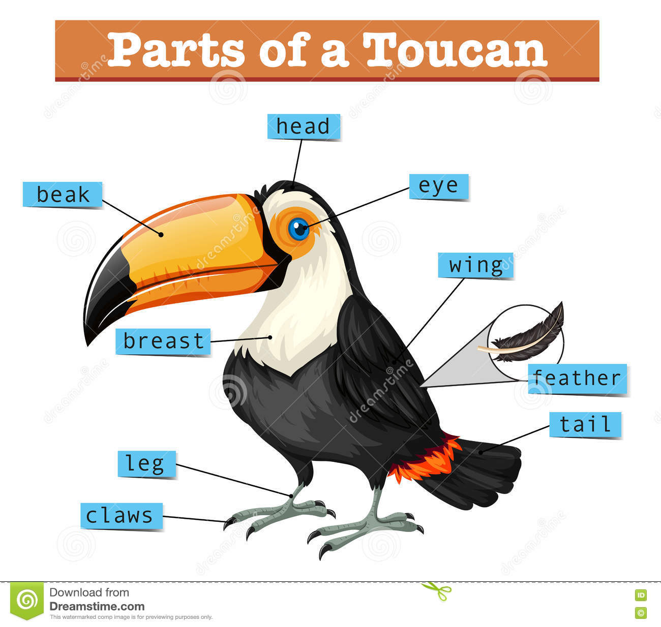 Diagram Showing Parts Of Toucan Stock Vector