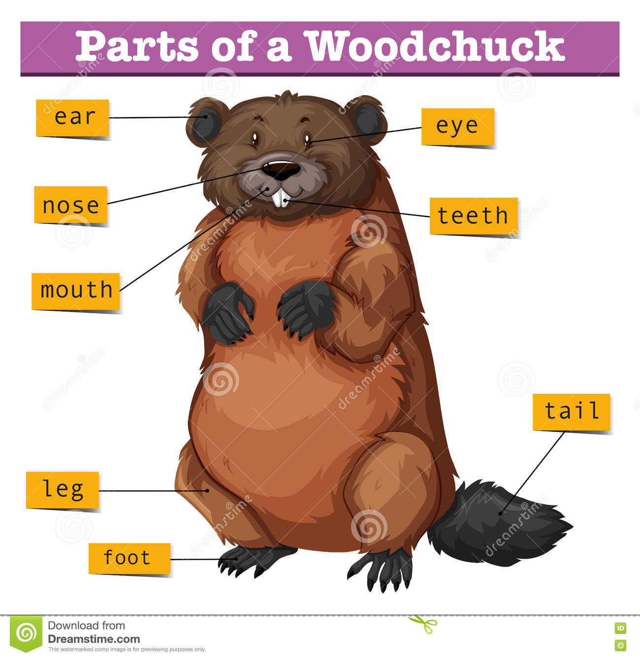 beaver skeleton diagram electrical wiring for water pump motor set showing parts of woodchuck stock vector