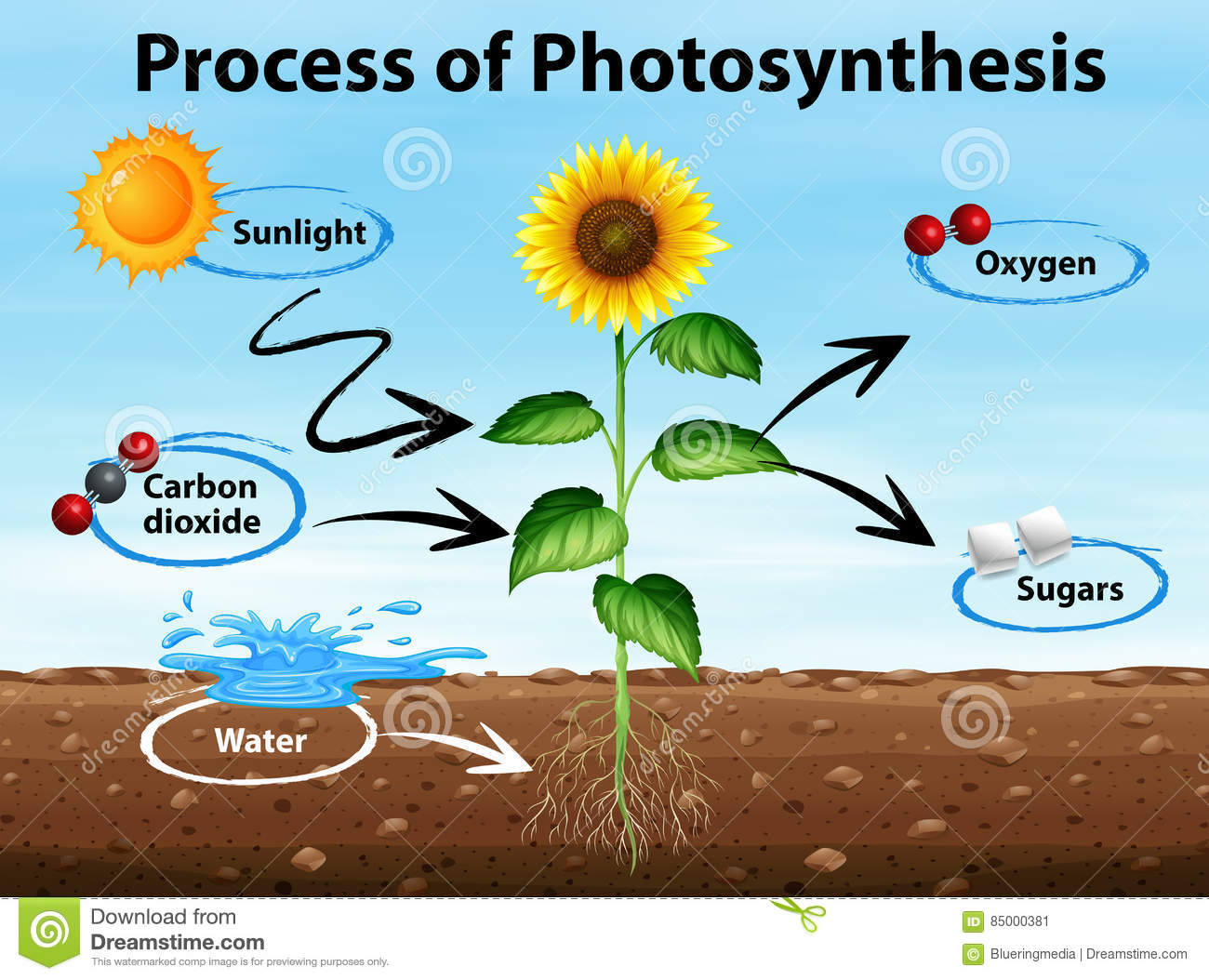 Diagram Showing Process Of Photosynthesis Stock Illustration