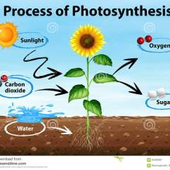 Photosynthesis Z Scheme Diagram Telephone Socket Wiring Bt Cartoons Illustrations And Vector Stock