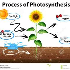 Parts Of A Sunflower Diagram Ac Plug Wiring Showing And Process Photosynthesis
