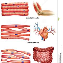 Human Muscle Cell Diagram Labeled Simple Leaf Vein Showing Types Of Cells Stock Vector