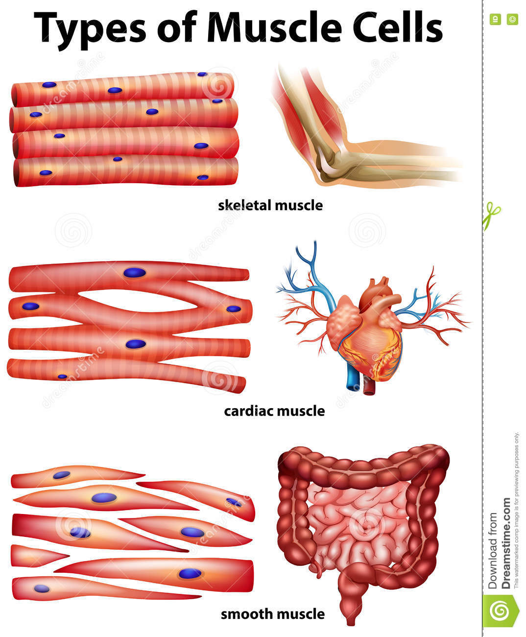 human muscle cell diagram winter in space showing types of cells stock vector