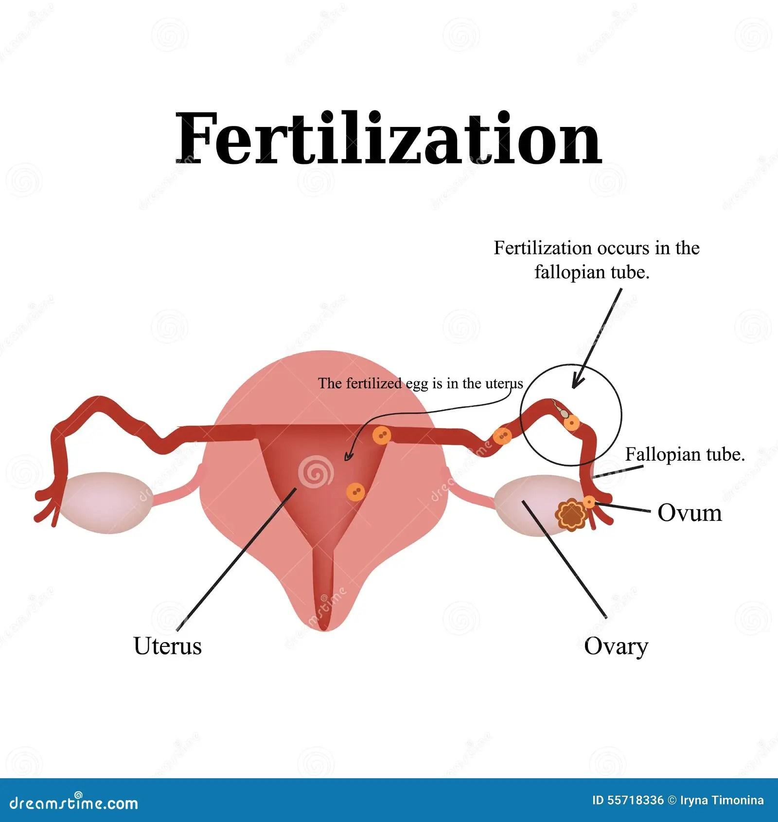 gynecology uterus diagram wireless router wiring bioart of the structure pelvic organs stock photo