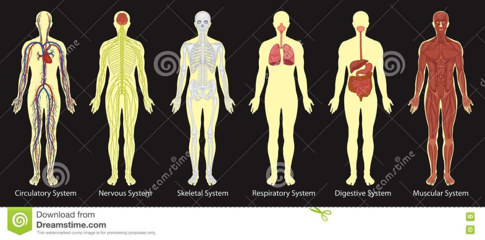 medium resolution of diagram of systems in human body