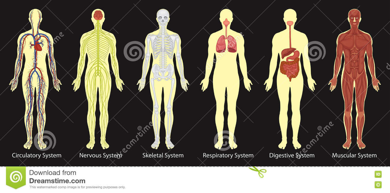 hight resolution of diagram of systems in human body