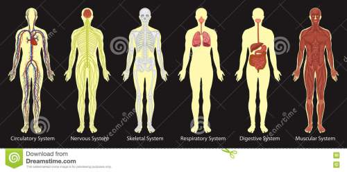 small resolution of diagram of systems in human body