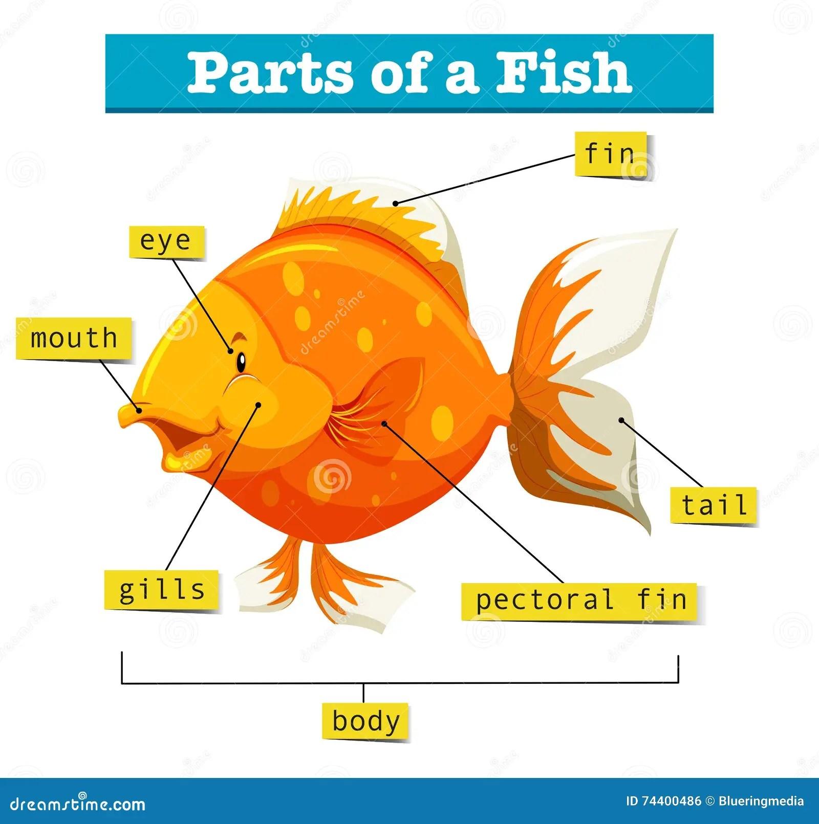 Diagrama Con Las Partes De Pescados Ilustracion Del Vector