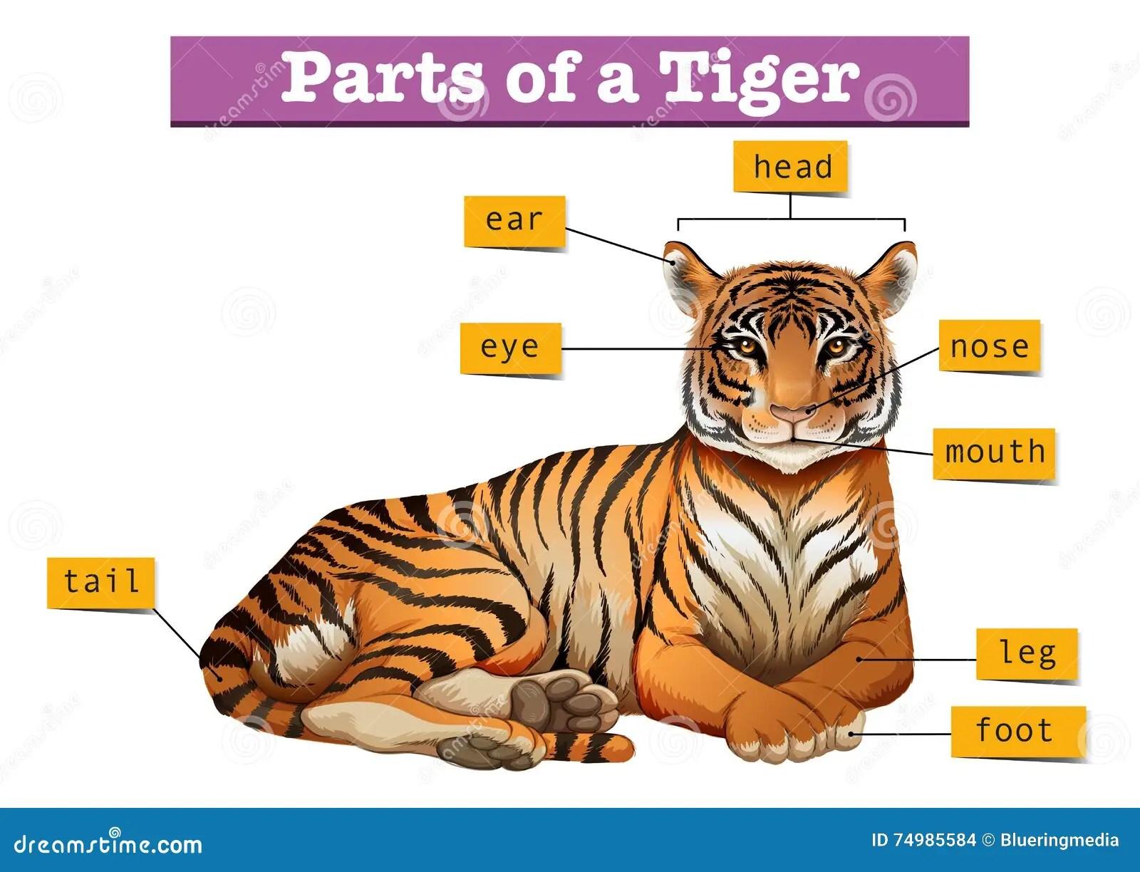 Diagrama Que Muestra Partes Del Tigre Ilustracion Del Vector