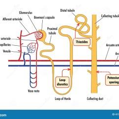 Bowman S Capsule Diagram Rj45 Wall Jack Wiring Diagramma Di Azione Renale Della Droga Illustrazione