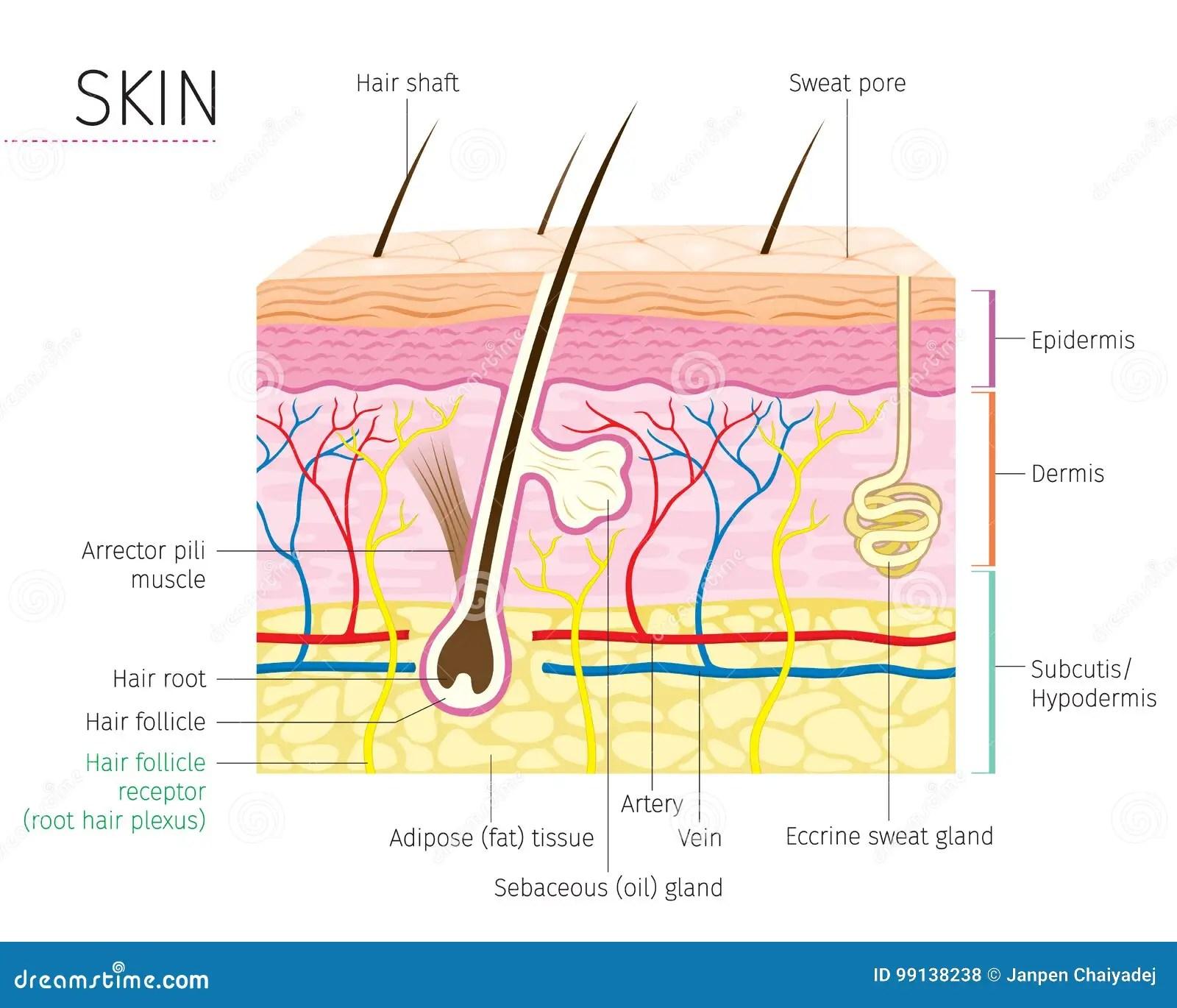 Diagramme Humain D Anatomie De Peau Et De Cheveux