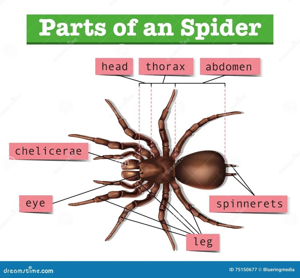 medium resolution of diagramme montrant des parties d araign e