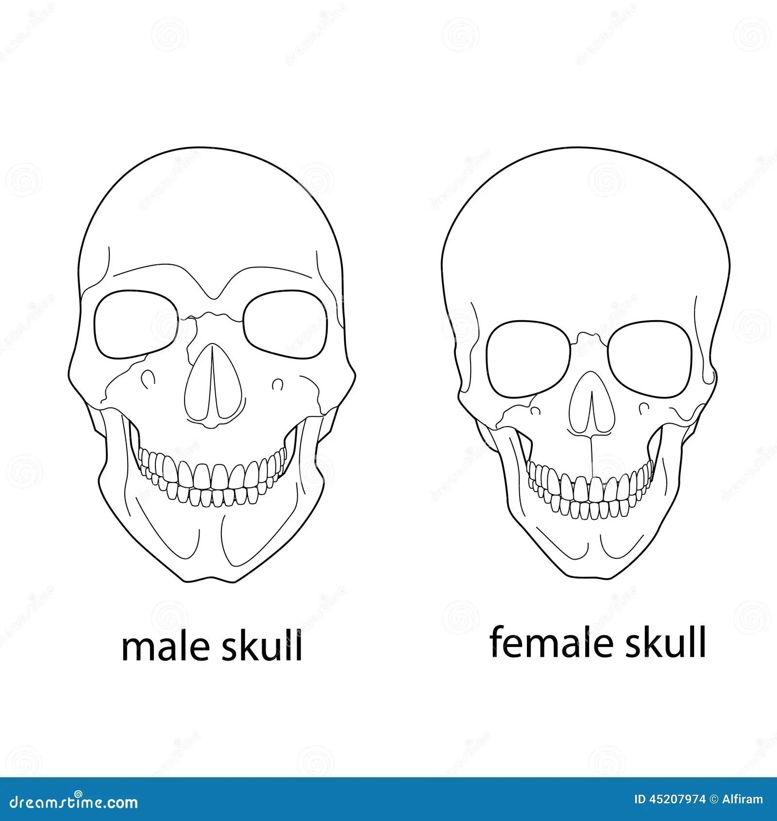 Diferencias Del Craneo Masculino Y Femenino Ilustracion