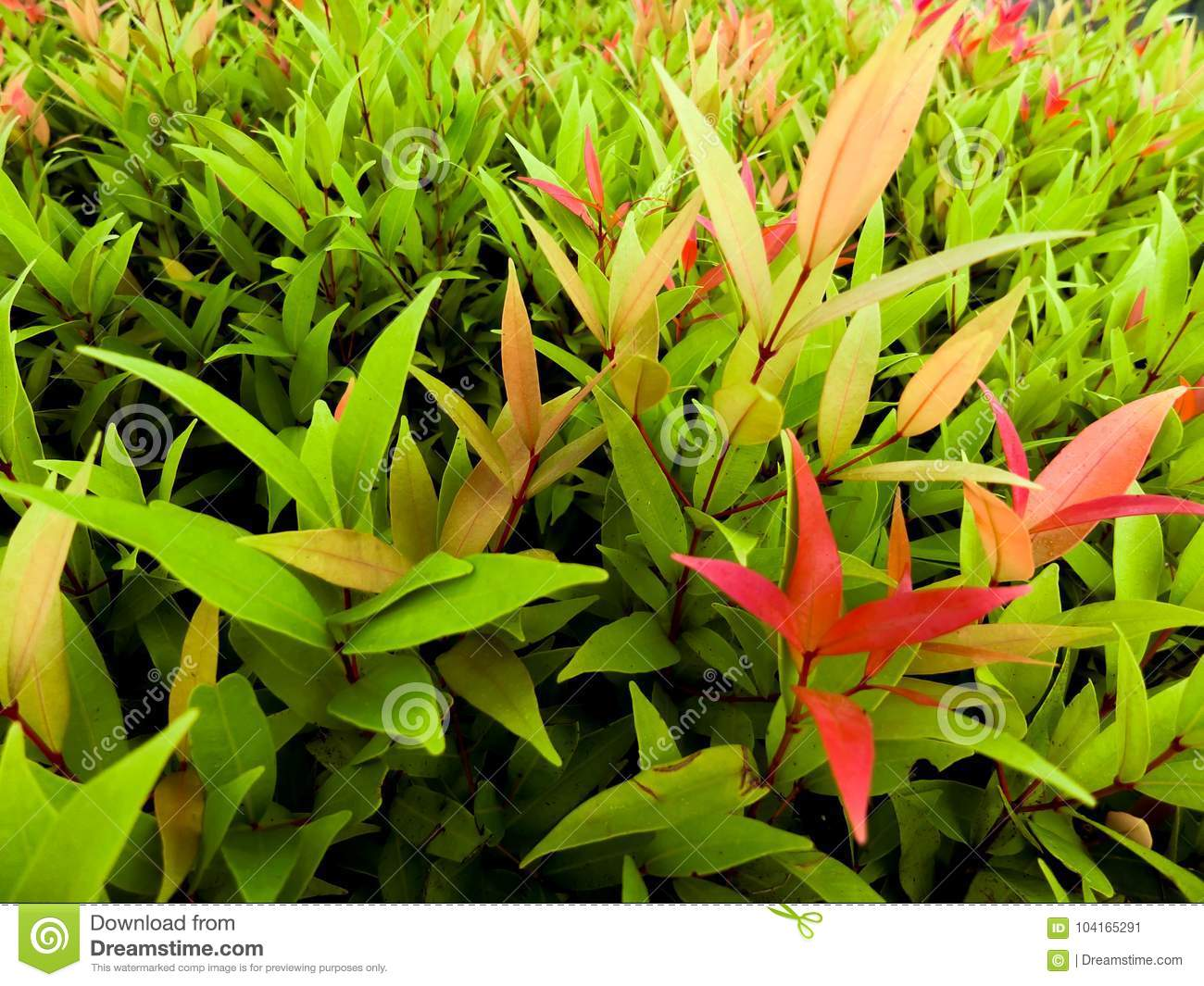 Leaf With Mixed Color Green Yellow And Red Stock Image