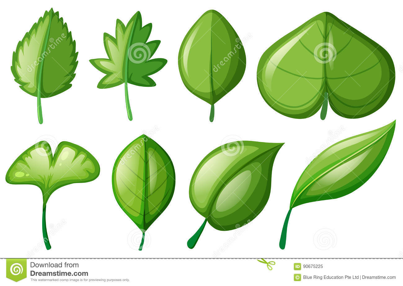 Different Shapes Of Leaves Stock Vector Illustration Of