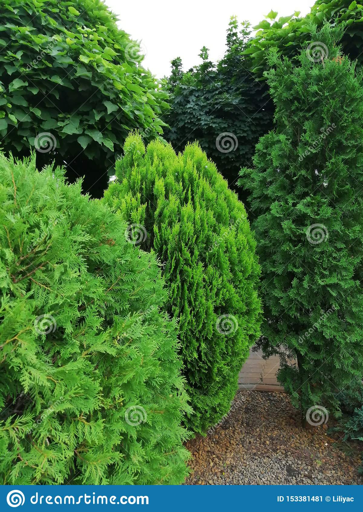 Different Types Of Coniferous Trees In The Garden Stock