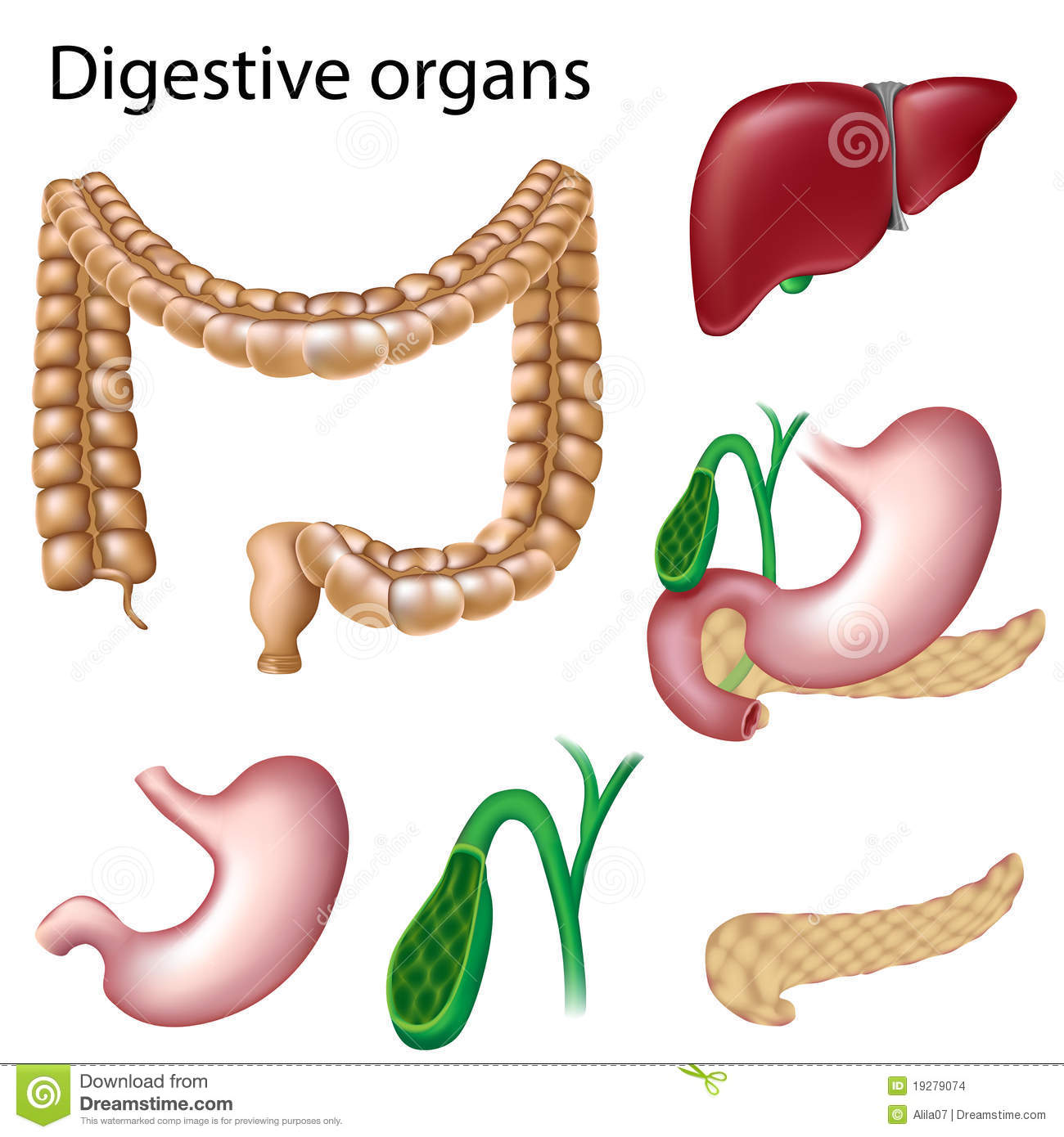 Digestive Organs Isolated Stock Images