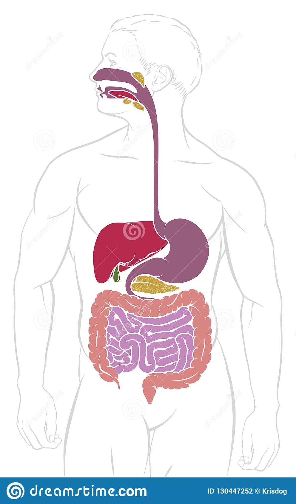 hight resolution of digestive system gastrointestinal tract diagram
