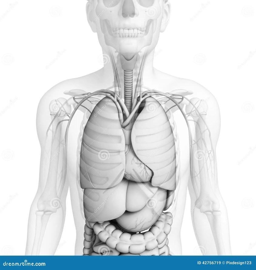 Digestive System Of Male Anatomy Stock Illustration ...