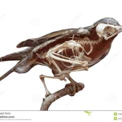 Pigeon Dissection Diagram Perko Single Battery Switch Wiring 1000 43 Images About Bird Reference On Pinterest
