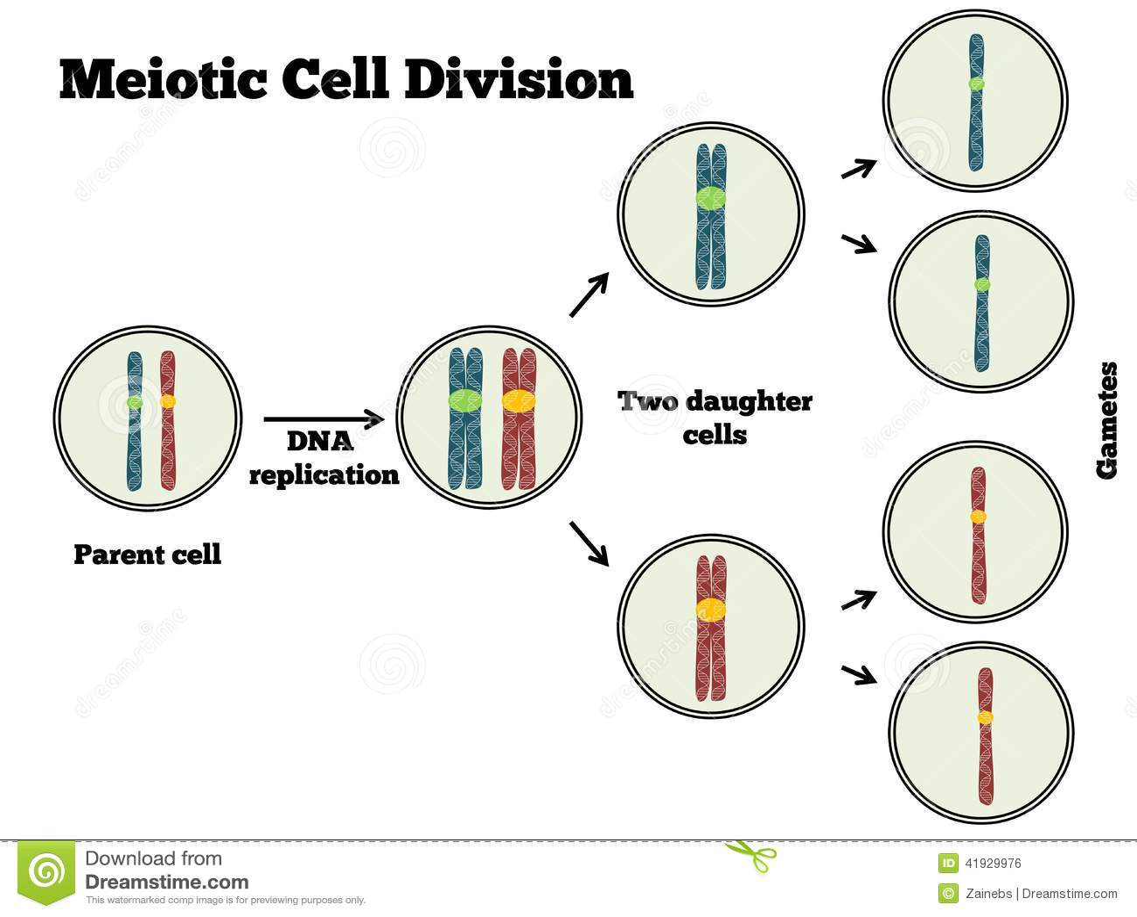 Division Celular De Meotic Ilustracion Del Vector