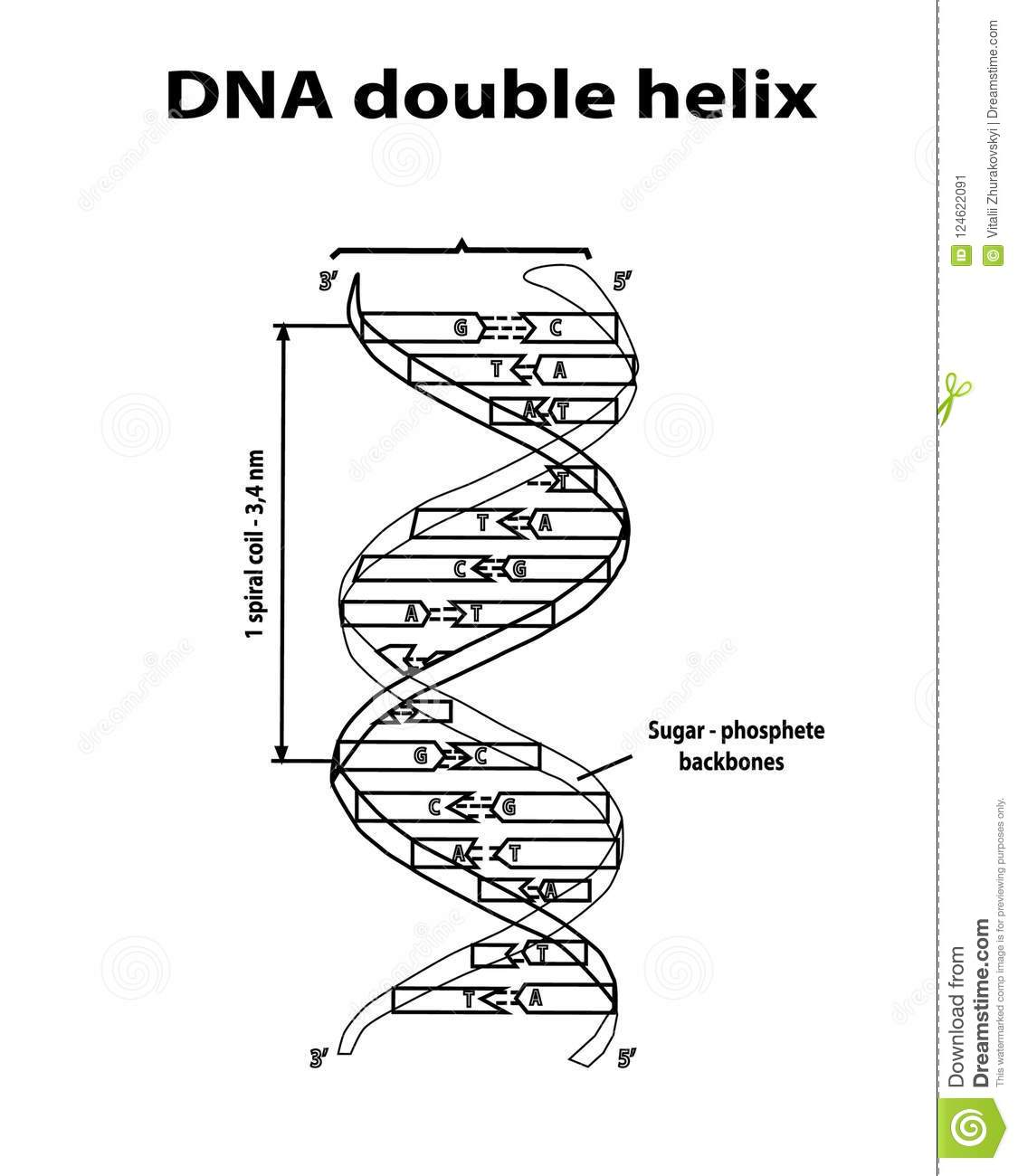 Dna Structure Double Helix In Black Lines On White Background Nucleotide Phosphate Sugar And