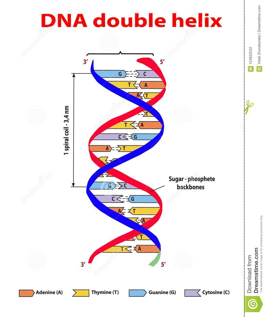 Dna Structure Double Helix Colore On White Background