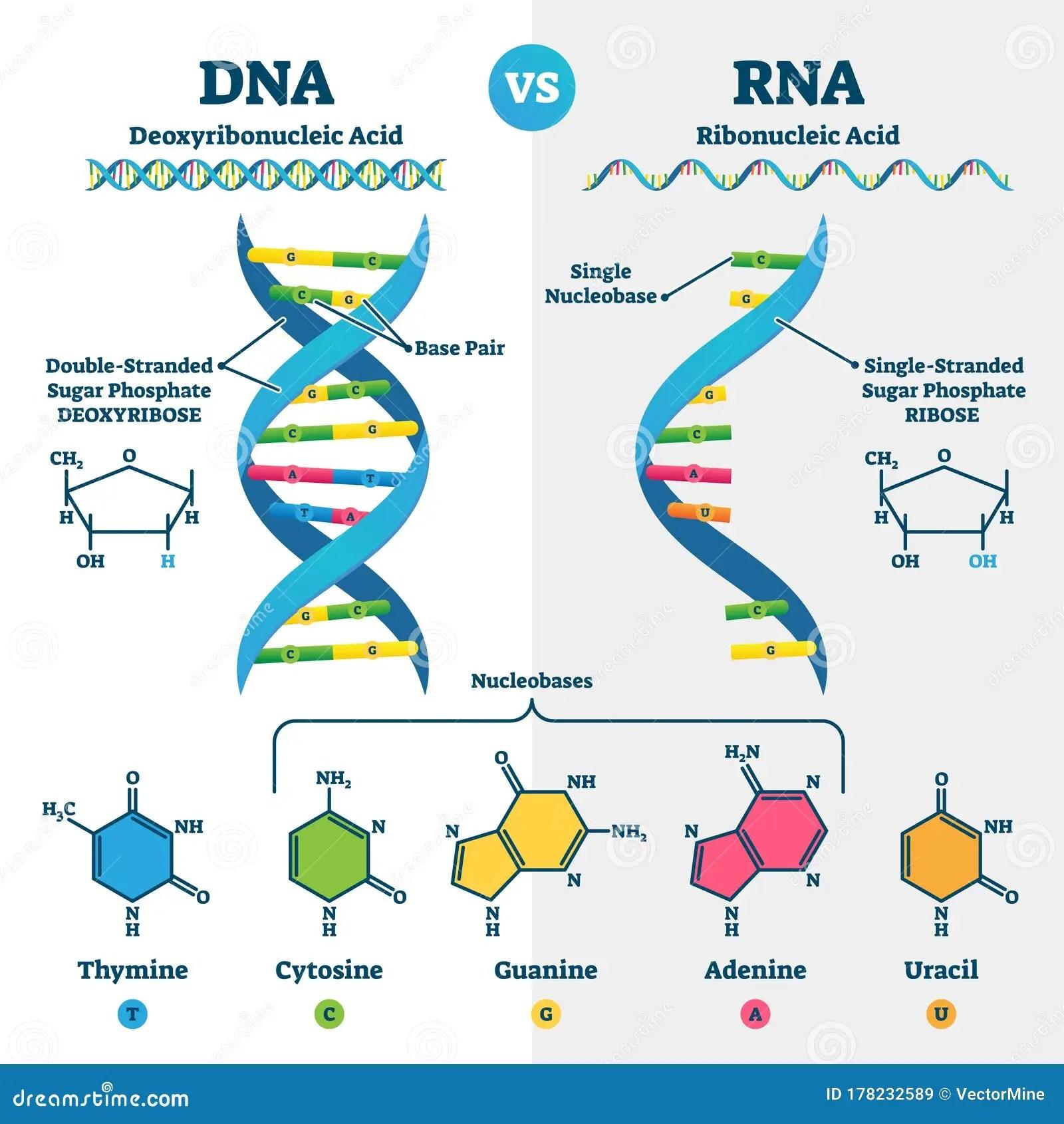 Dna Vs Rna Vector Illustration Educational Genetic Acid