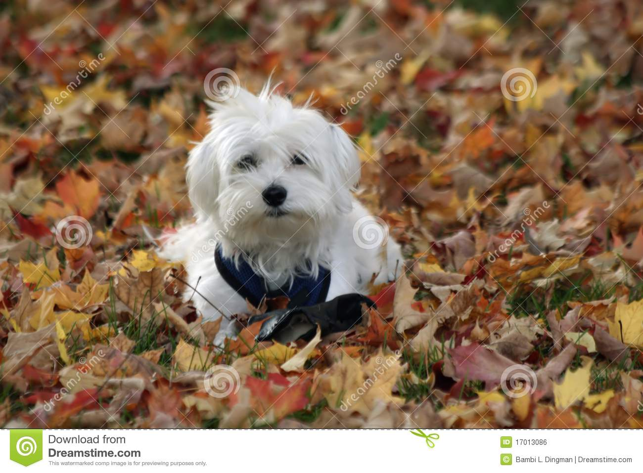 Free Fall Puppy Wallpaper Dog In Autumn Leaves Stock Photo Image Of Eyes Little