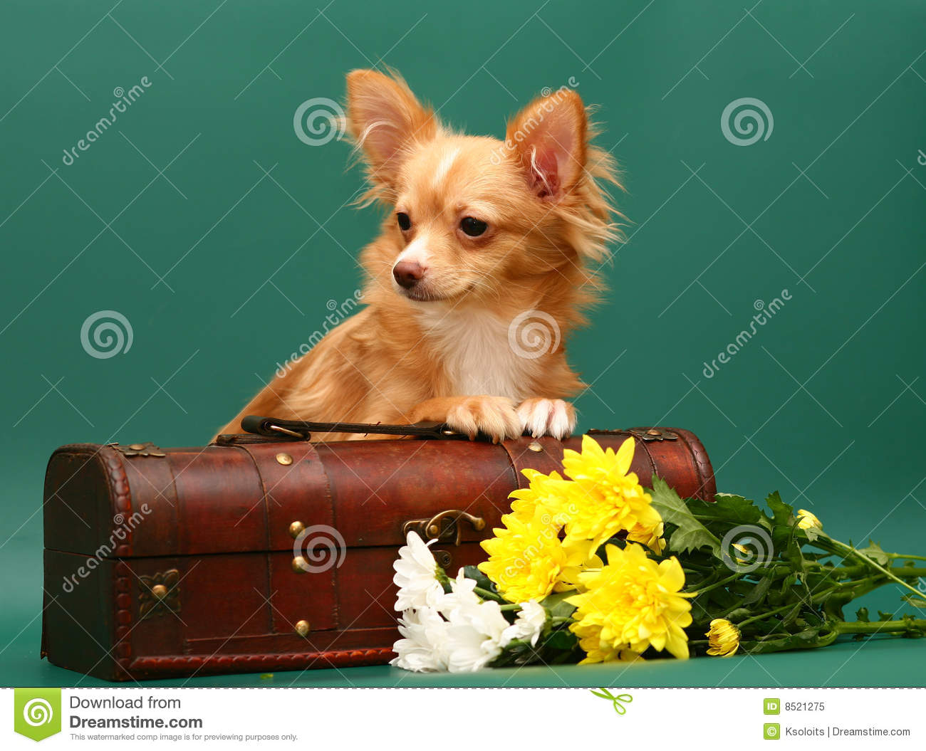 Dog Of Breed Chihuahua Is In A Trunk Royalty Free Stock