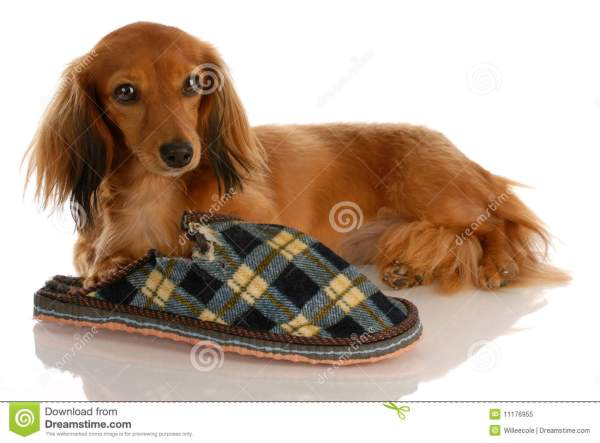 Long Haired Miniature Dachshund Dogs