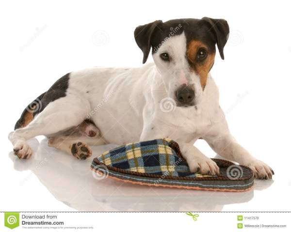 Tri Color Jack Russell Terrier