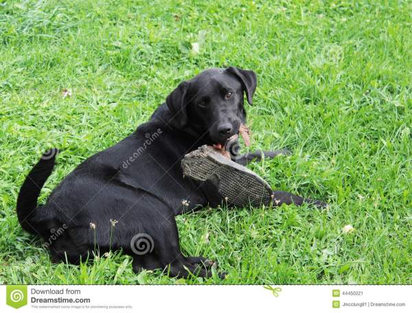 Dog Chewing a Shoe On Black