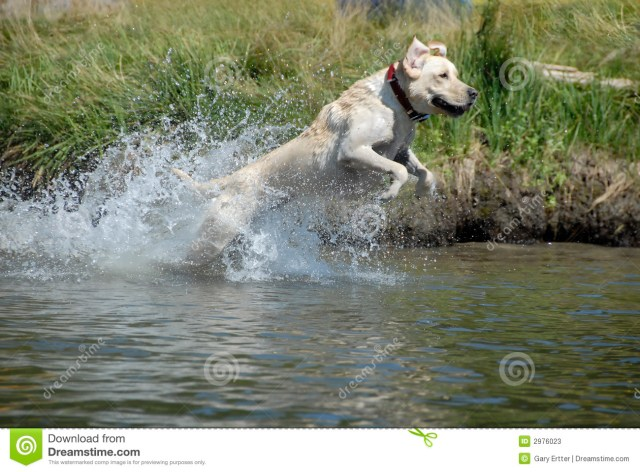 Dog Leaping In To The Water