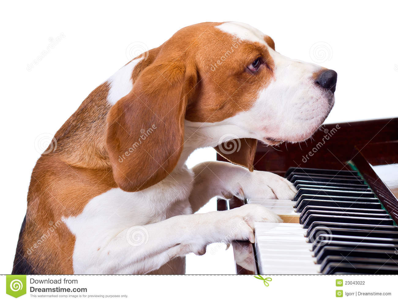 Dog Playing The Piano Stock Photography  Image 23043022