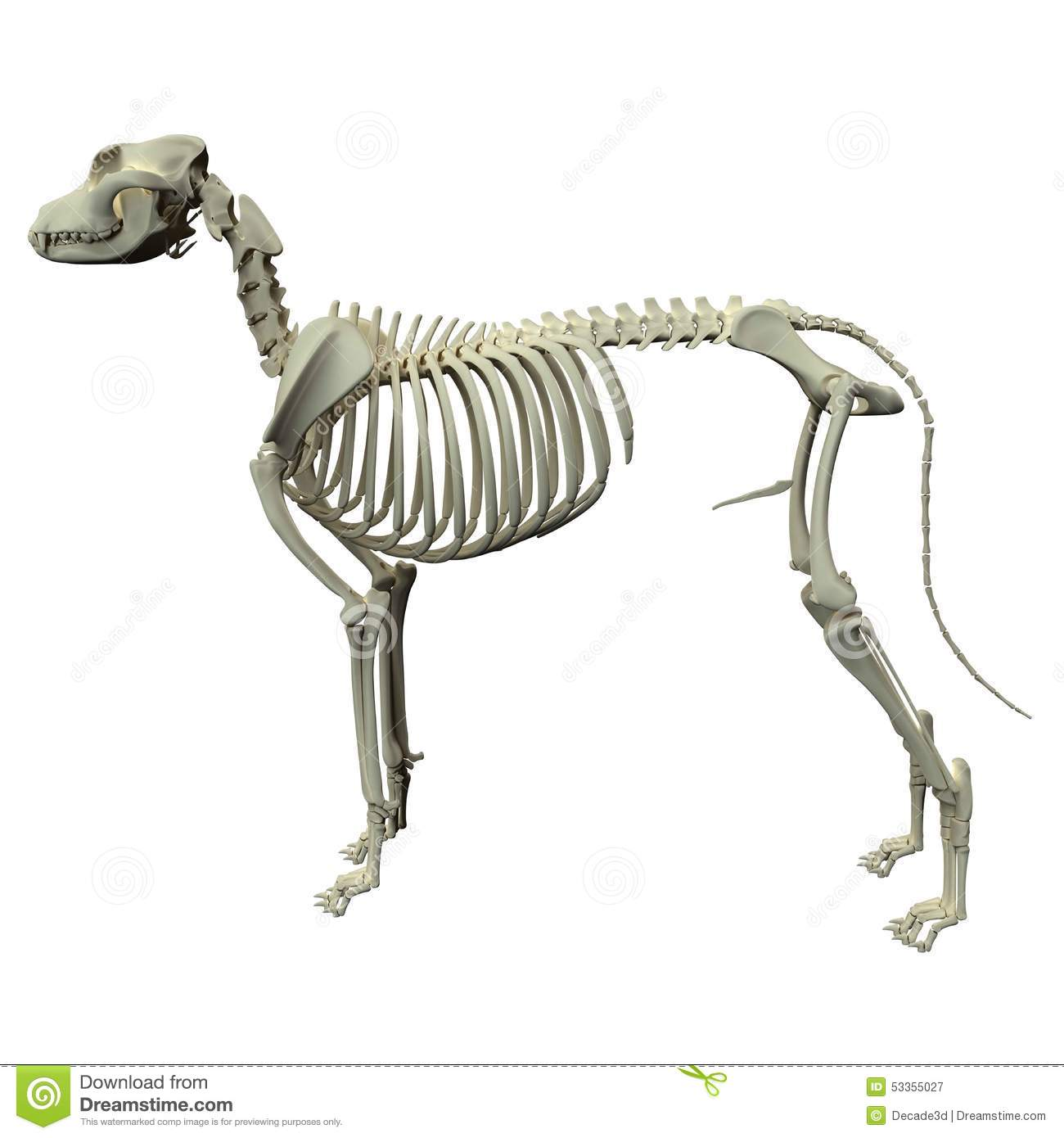 skunk skeleton diagram cross functional dog anatomy of a male