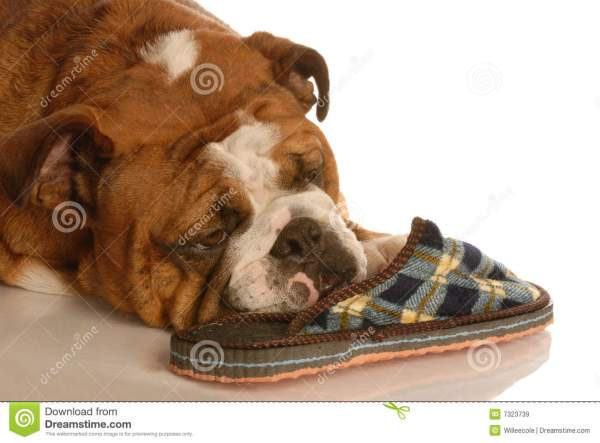 Dog with Slippers