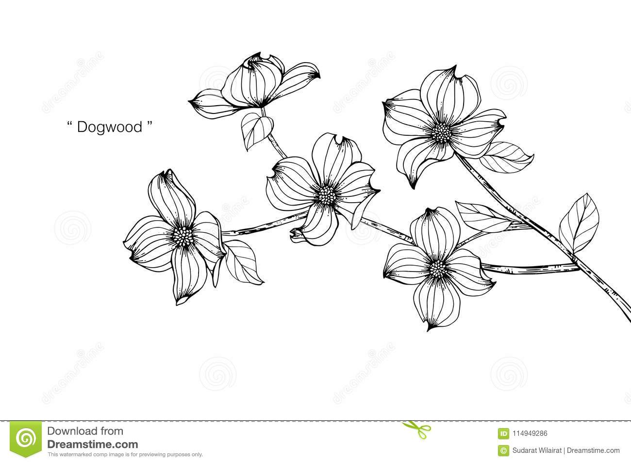 Dogwood Flower Drawing Illustration Black And White With