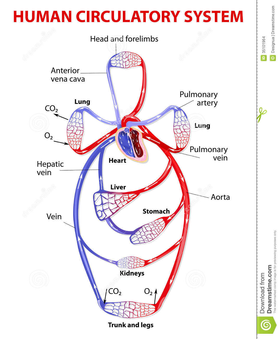 Double Circulatory System Stock Images