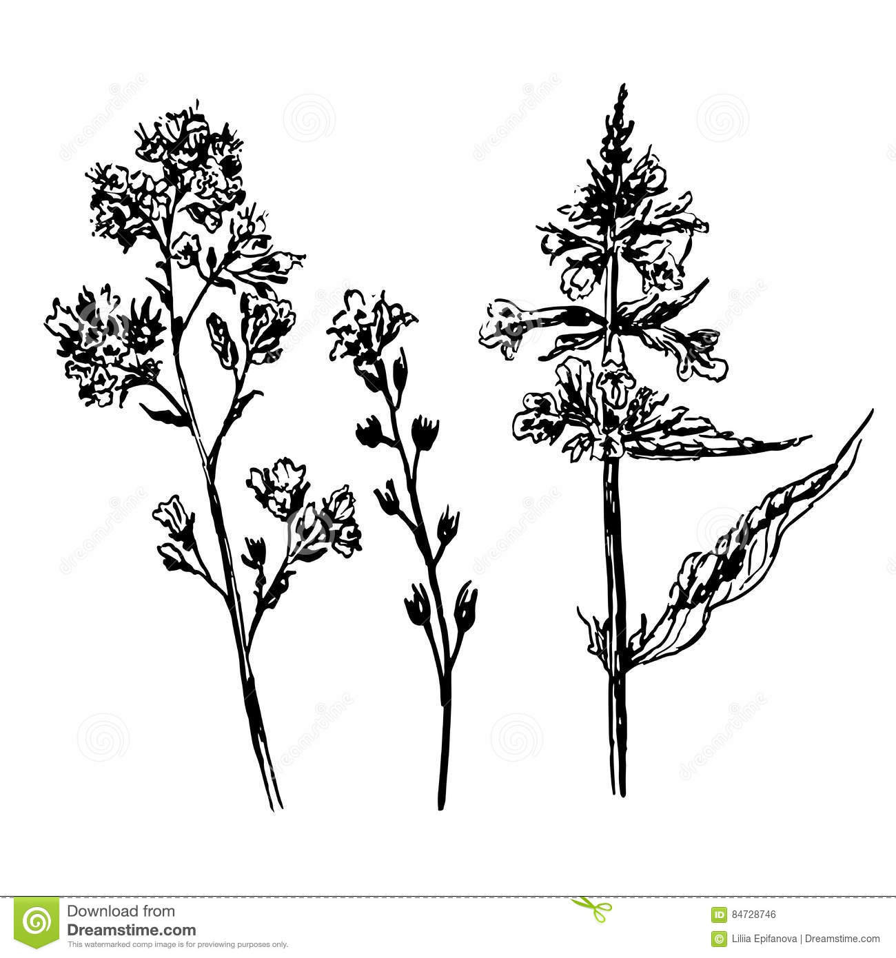 Drawing Of Clover Flowers Royalty Free Stock Image