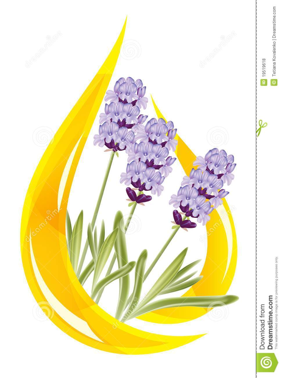 A Drop Of Lavender Essential Oil Royalty Free Stock Photos  Image 19519618