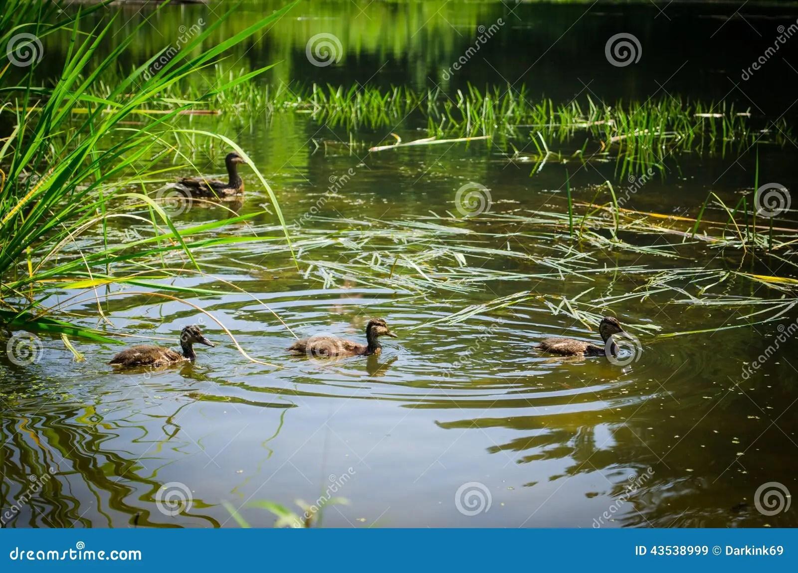 Ducks Swimming In Pond Stock Photo Image 43538999