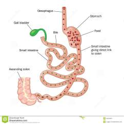 Gastric Bypass Diagram How To Wire A Three Way Switch Duodenal Bariatric Surgery Stock Vector Image