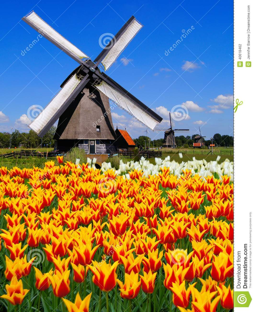 Dutch Windmills And Tulips Stock Photo  Image 40618462